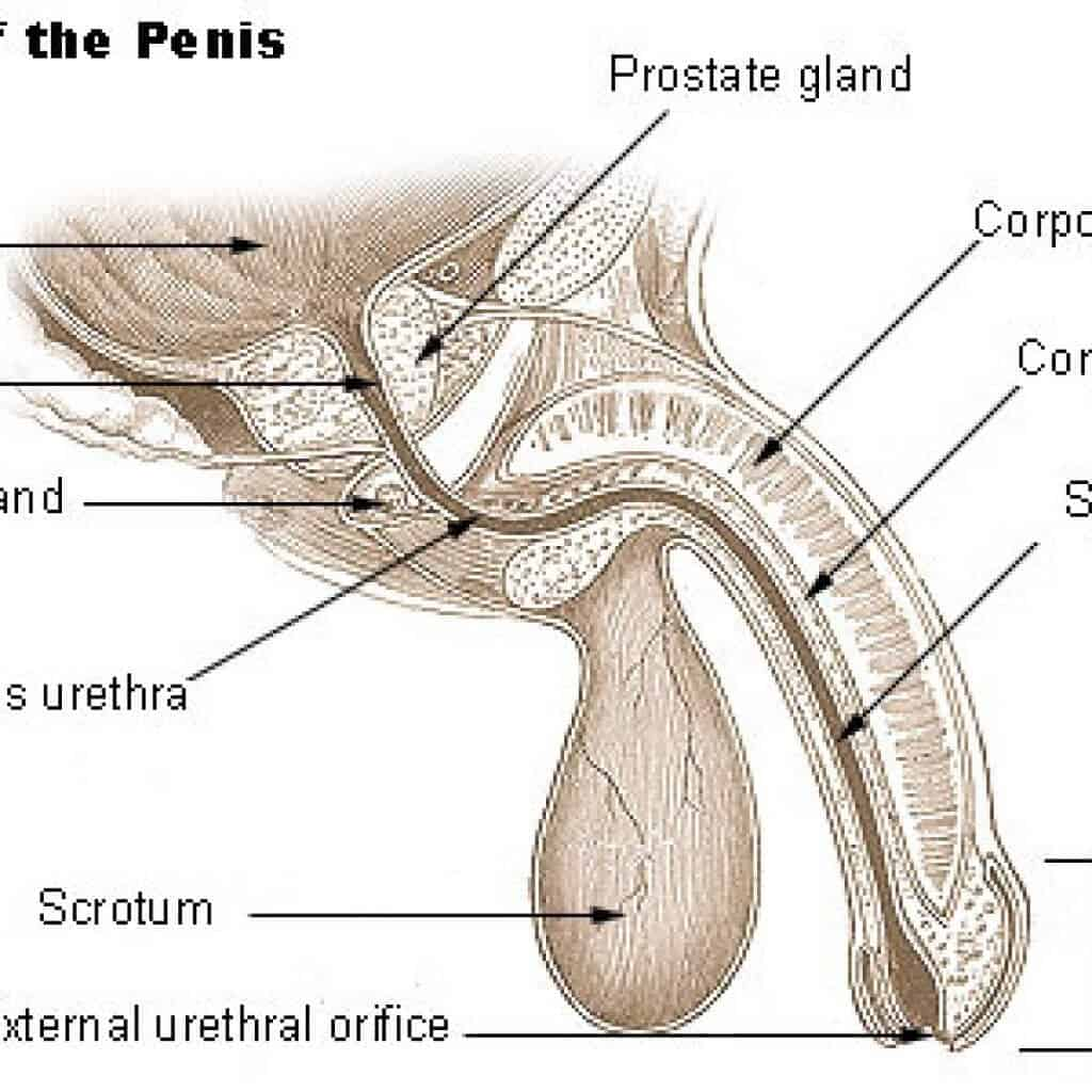 Curved Penile