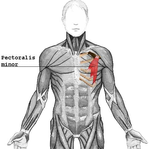 CHEST - Pectoralis minor
